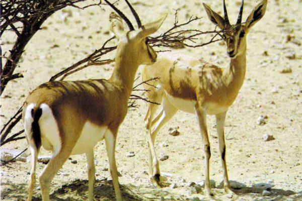 Nature Reserves Shaumari